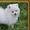 щеночки померанского шпица #1192134
