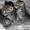 Котята в дар, очень милые маленькие комочки,  которые станут вашими любимцами #1589804