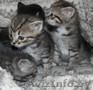 Котята в дар, очень милые маленькие комочки,  которые станут вашими любимцами